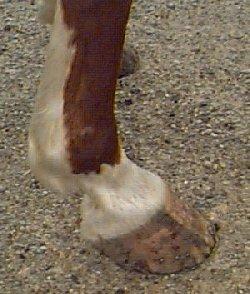 Comment nettoyer les sabots du cheval ?