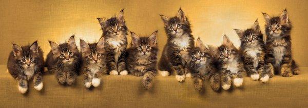 Le Maine Coon, chat idéal !