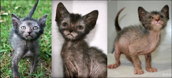 Le Lykoi, un drôle de chat à l'aspect de loup-garou !