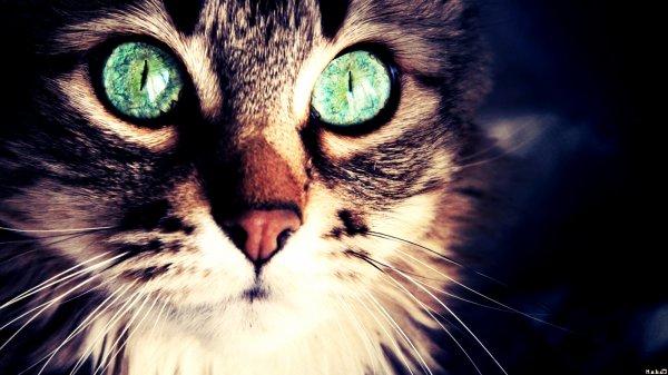 Les yeux du chat