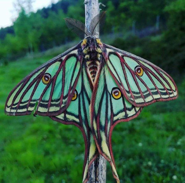 Le Papillon Isabelle, que l'on peut admirer en France et en Espagne. il a comme particularités de ne jamais s'alimenter et de naître uniquement pour se reproduire !