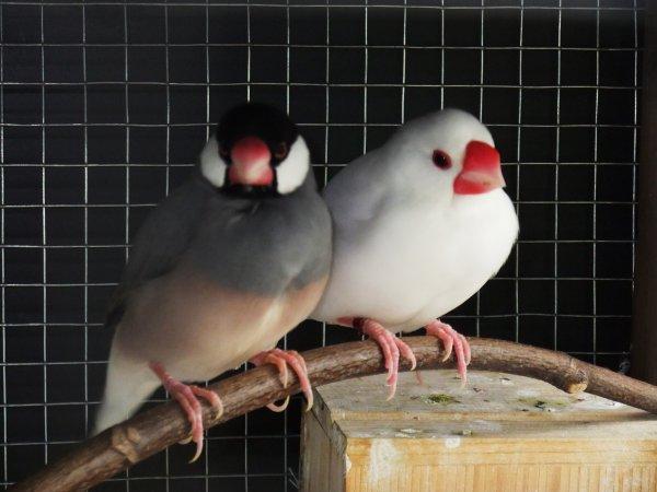 1er couple,blanc le male et TS femelle