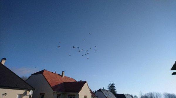 Volé des mâles yearling