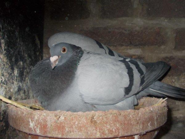 pigeon offert a mon papy de coeur