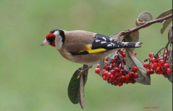 Pyracantha pour les oiseaux mes oiseaux - Pour effrayer les oiseaux ...