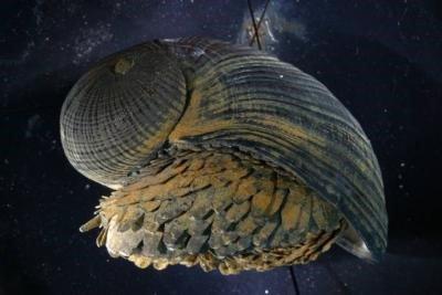 Un mollusque métalleux !!!!