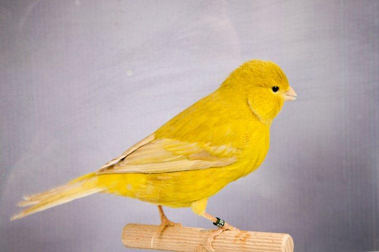 Kweek 2015 Bruinpastel geel pop