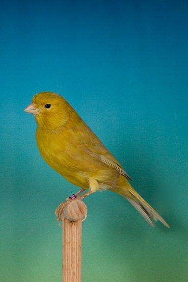 Bruinpastel geel schimmel 2015 ptn. 91