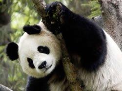 MAIS.....POURQUOI LE PANDA COMME SYMBOLE DE WWF ??
