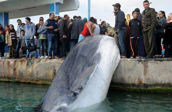 Tunisie: Un pêcheur découvre une baleine de 10 mètres morte dans ses filets