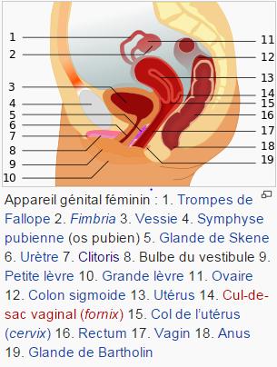 Système reproducteur humain