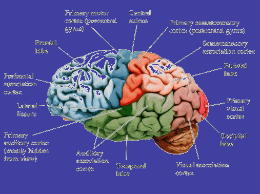Dormir permet au cerveau de se nettoyer