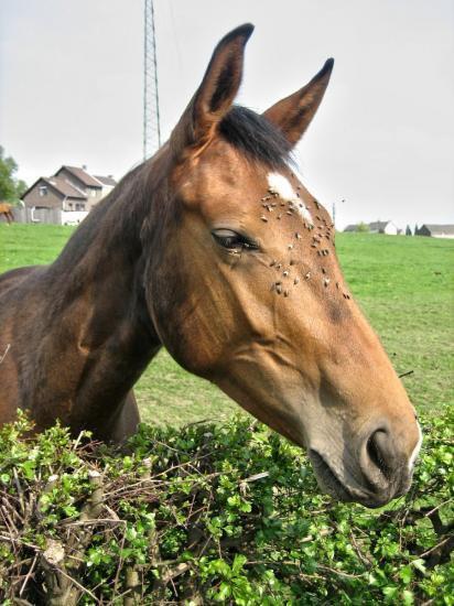 _ Les ennemis des chevaux  _