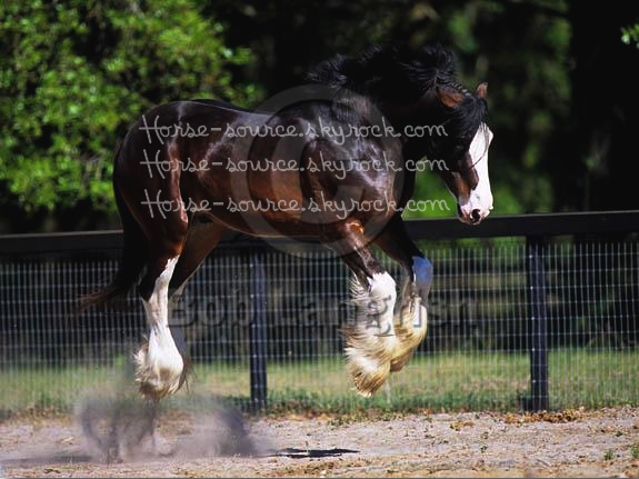 _  Le clydesdale  _