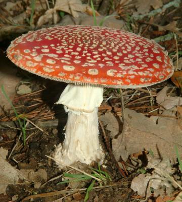 blog de champignons magiques tout sur les champignons hallucinog nes. Black Bedroom Furniture Sets. Home Design Ideas