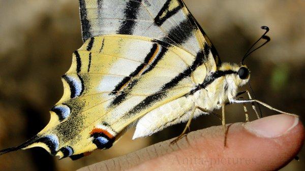 Modèle : Un papillon