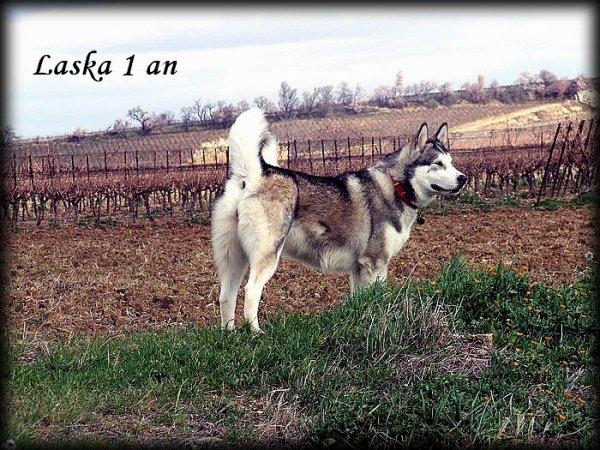 Laska, 1 an : 40kg et 66 cm au garrot
