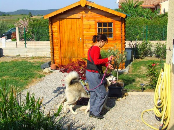 Laska avant de partir en Canicross