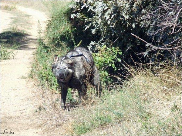 Avez vous déjà vu ça ? MDR . Un malamute transformé en cochon noir !