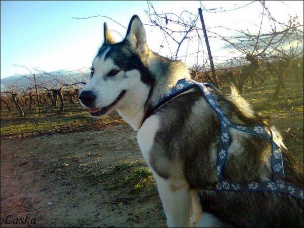 1 heure de cani-rando avec ma Laska . Qu'est-ce que ça fait du bien !
