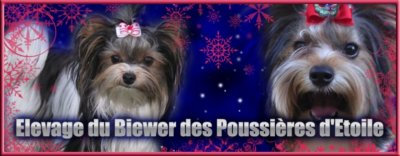 Le Biewer yorkshire terrier