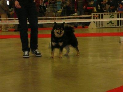 Paris Dog Show 2011 - Chien finnois de laponie