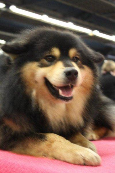 Paris Dog Show 2012 - Chien Finnois de Laponie