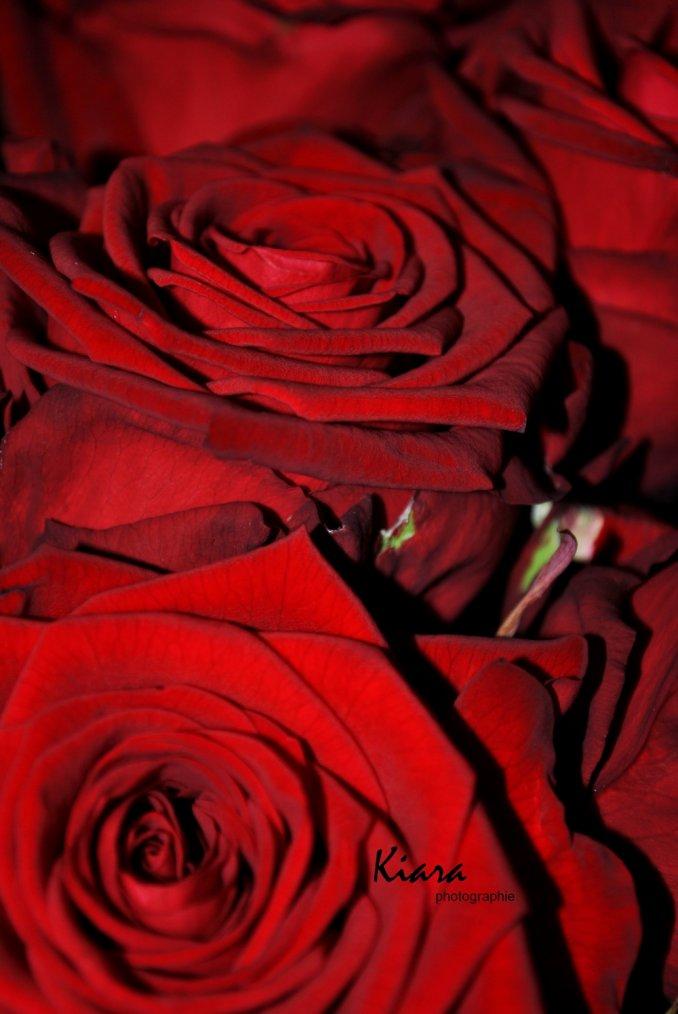 Allons voir si la rose, qui ce matin s'est éclose