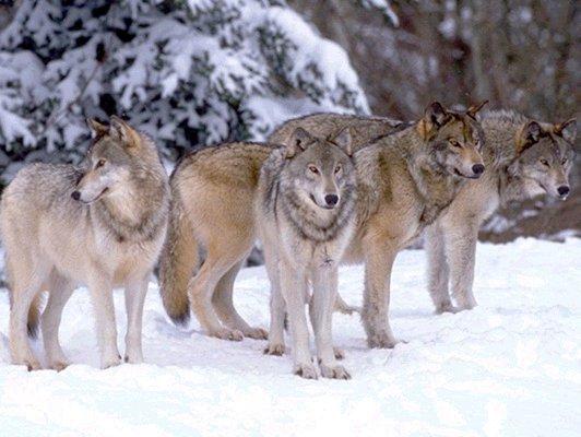 la vie du loup Mode de vie