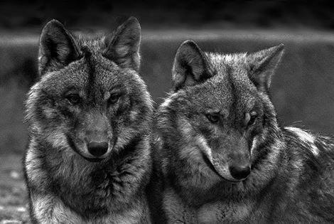 belle image de loup