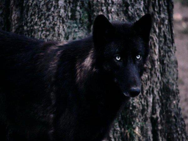 jolie  image de loup