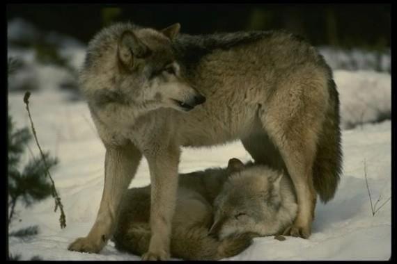 comme c'est mignon ces amour de loup