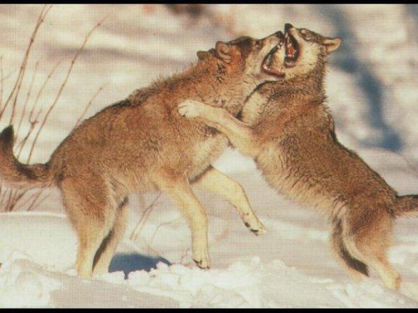 superbe  loup