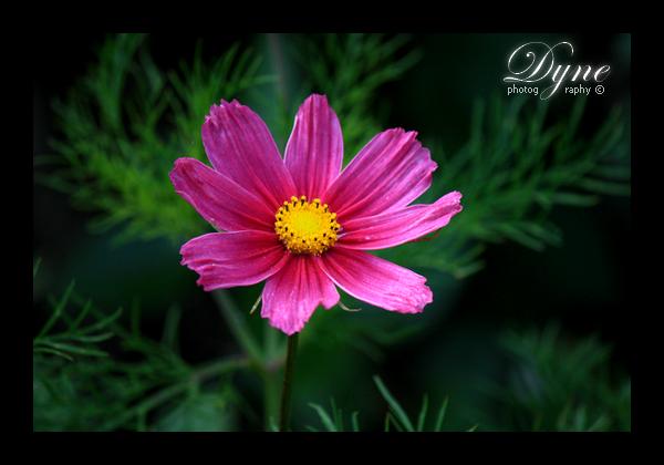 Une fleur bien rose