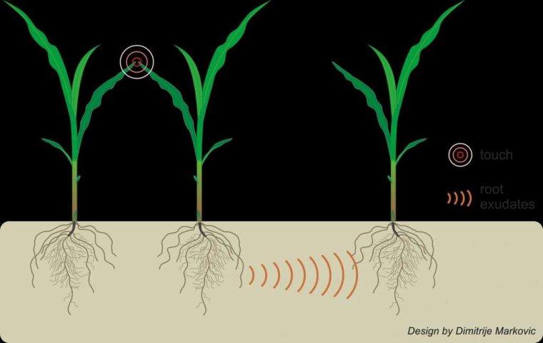 Les plantes sont douées de proprioception et du sens du toucher  Pourtant, si les plantes et donc les arbres poussent droit, ce n'est pas uniquement grâce à l'attraction terrestre. Avec son équipe, Bruno Moulia a fait la découverte d'un autre sens, que l'on croyait pourtant réservé à l'Homme : la proprioception ou autrement dit la perception de la configuration de son propre corps dans l'espace.  Dans une autre expérience, les scientifiques auvergnats ont positionné à l'horizontale des arabettes des dames -- une modeste plante servant d'organisme modèle en biologie -- avant de les faire tourner sur elles-mêmes pour les empêcher de s'orienter par rapport à la gravité. Résultat : le petit végétal va continuer de pousser de manière rectiligne, sans chercher à se redresser. « L'arbre perçoit s'il est bien rectiligne ou courbé et a la capacité de se rectifier et de contrôler son équilibre », précise l'agronome-physicien.  Chose encore plus inattendue, l'arbre possède le sens du toucher. En soumettant des plantes à des « impulsions d'air », les chercheurs clermontois se sont aperçus que celles-ci savent très bien percevoir le vent et son intensité. « Un arbre qui va se trouver confronté à un vent inhabituel va réduire sa croissance en hauteur et augmenter sa croissance en diamètre et faire plus de racines », résume Bruno Moulia.  Grâce à des électrodes placées sur la tige de jeunes peupliers, ils ont aussi enregistré des réactions électriques, similaires à l'« influx nerveux » chez l'être humain, lorsque ceux-ci ont été fléchis par le vent. Des informations que ce végétal enregistre dans sa « mémoire », pouvant varier « d'une semaine à un an ».  L'arbre serait-il donc intelligent ? L'épineuse question interroge la communauté scientifique. « Les arbres combinent beaucoup d'informations. C'est plus complexe que de simples réflexes mais est-ce pour autant de l'intelligence ? », questionne le scientifique. Une prise de conscience de la sensibilité des plantes  D'autres études