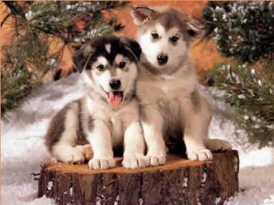 les chiot  husky