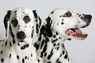 les dalmatiens ;)