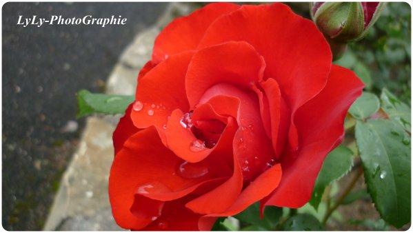 Une beautée rouge vif.