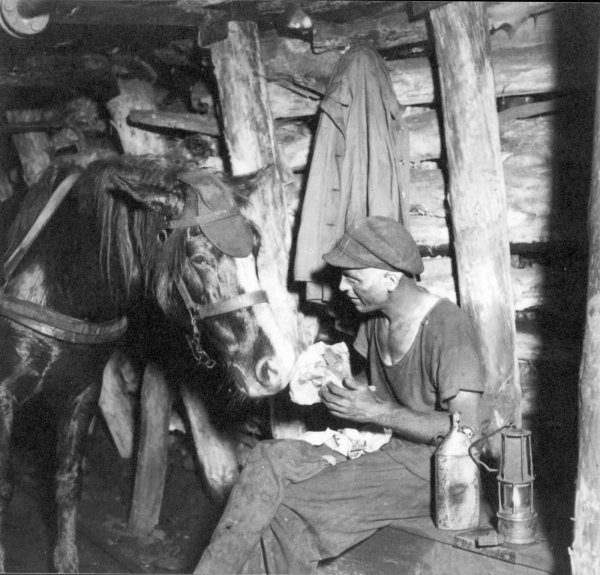 En Allemagne TOBIAS notre dernier cheval des mine nous a quitté le 22 juin 1966 --- In Deutschland verließ am 22. Juni 1966 Tobias, das letzte deutsche Grubenpferd,