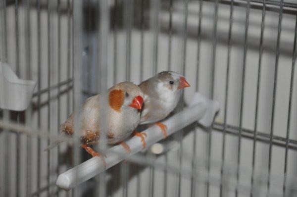 mâle isabelle brun x femelle panachée grise