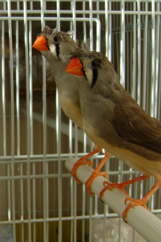 femelles grises huppé