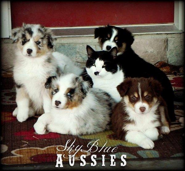 """Résultat de recherche d'images pour """"berger australien et chat"""""""
