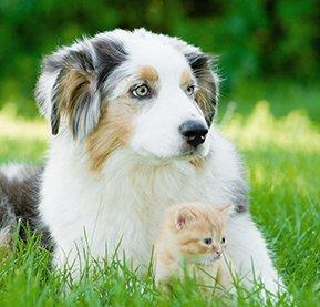 un berger australien avec un chaton