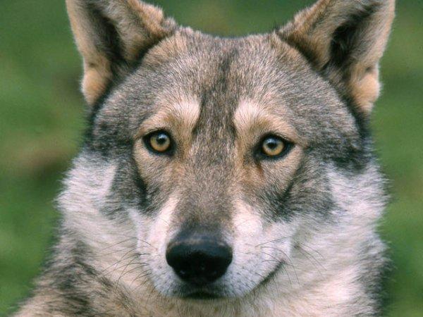 un chien loup de saarloos