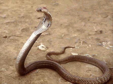 mon cobra