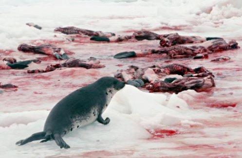 La chasse aux phoques  .
