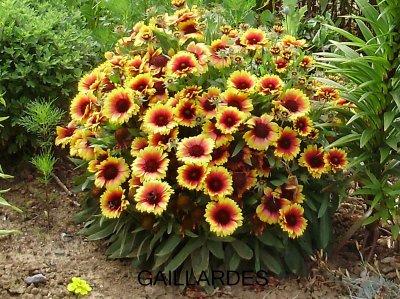 les plantes vivaces le jardin et les fleurs