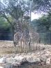 Girafons ! Prises avec un Kodak.