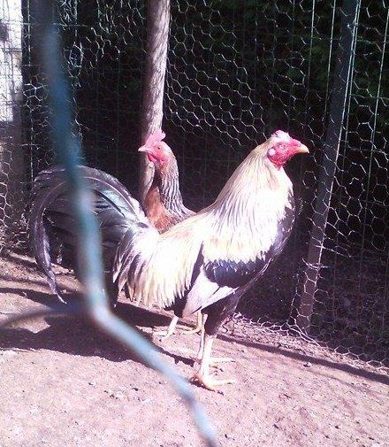 mon repro et sa poule