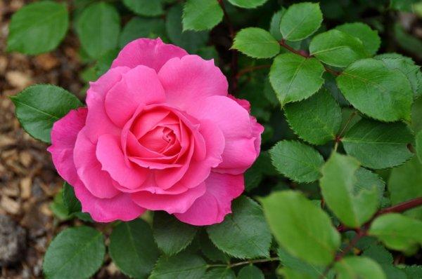 la 1 ere rose Sylvie Vartan viens de sortir dans la roseraie ou il y a 35 rosiers Sylvie Vartan,